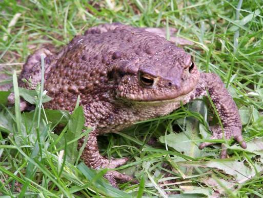 Eine Erdkröte - Quelle: wikimedia by Iric unter CC-BY-SA