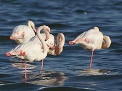 Füchse fressen Flamingos
