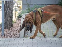 Polizeihund beißt Nordafrikaner in Oberschenkel