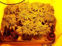 25 Marihuanapflanzen bei Durchsuchung sichergestellt
