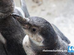 Gestohlener Pinguin tot aufgefunden
