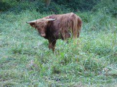 """Schottische Hochlandrinder grasen im Naturschutzgebiet """"Rohrwiesen und Gänswiesen"""""""