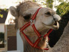 Kamele in der Siedlung