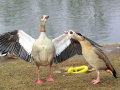 Vogelgrippe greift weiter um sich