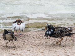 Kampfläufer im Heidelberger Zoo in der Balz