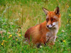 Fuchs-Problematik in Ilvesheim hat sich von selbst erledigt