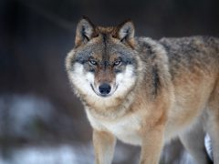 Wolf im Odenwald bestätigt