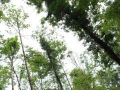 Eschentriebsterben im Bammentaler Wald