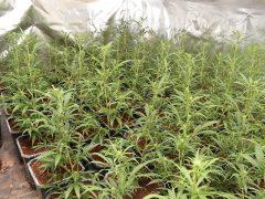 Marihuana in Indoorplantagen angebaut und verkauft