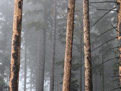 Jetzt Fichtenwälder auf Borkenkäfer kontrollieren